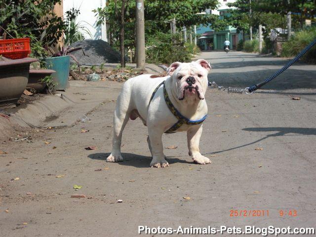 Photos English BullDog