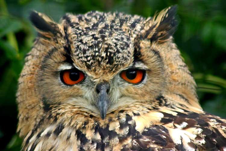THE EAGLE OWL |The Garden of Eaden