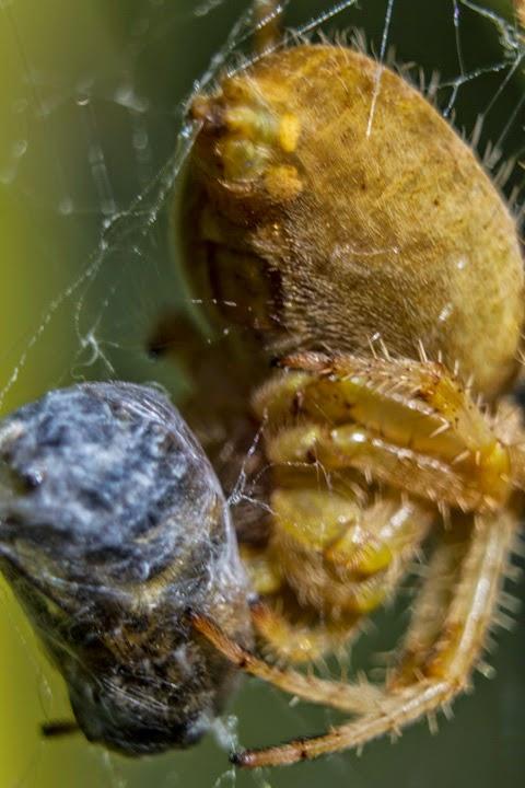 Araña envolviendo a su presa