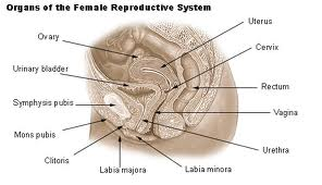 Diagrams female reproductive lymphatic system diagram female reproductive lymphatic system diagram ccuart Images