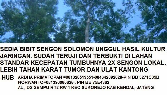 Sengon Solomon