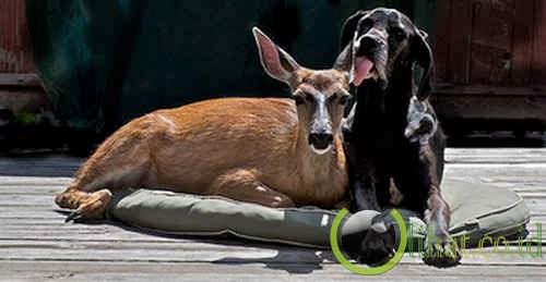 Rusa & Anjing
