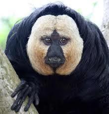 Động vật kì lạ: Khỉ mặt trắng saki
