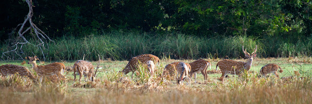 A Photograph of a Spotted Deer taken in Wilpattu, Sri Lanka