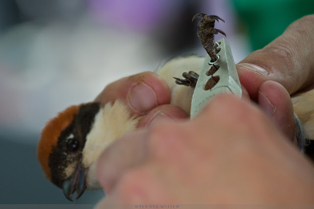 Roodkopklauwier wordt geringd - Woodchat Shrike being ringed - Lanius Senator