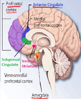 brain borderline personality disorder BPD neurotransmitter stress ventral striatum,prefrontal,cortex,amygdala,ventromedial,subgenual cingulate,medial,hippocampus,limbic,fight or flight