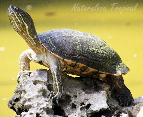 La Tortuga de La Española o tortuga haitiana, Trachemys decorata