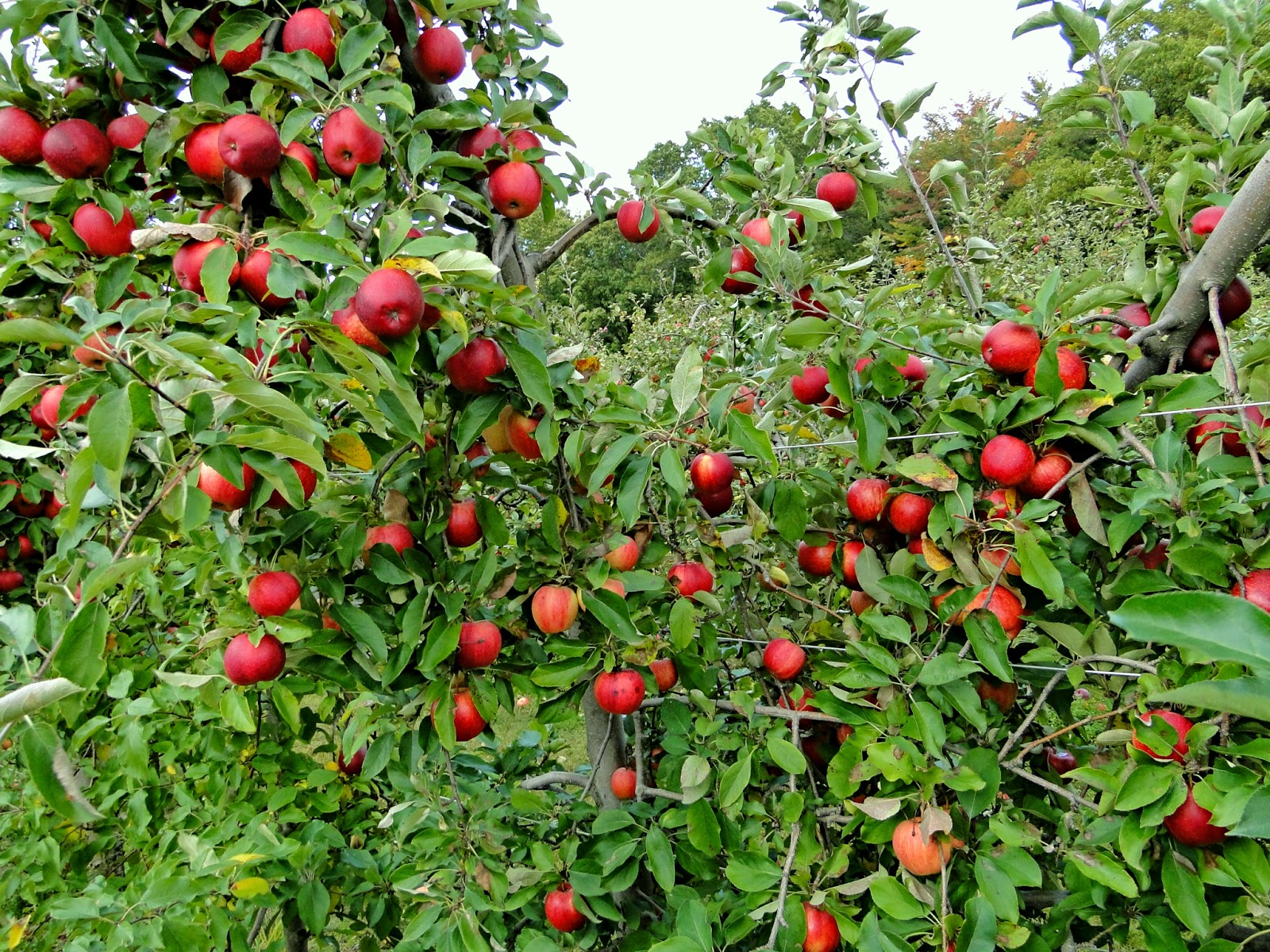 Photo Collection September Apple Orchard Wallpaper
