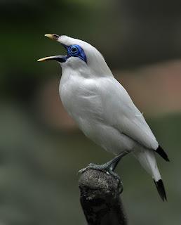 Habitat Burung Jalak Bali Habitat Aslinya Yang Sekarang Ini Nyaris Punah