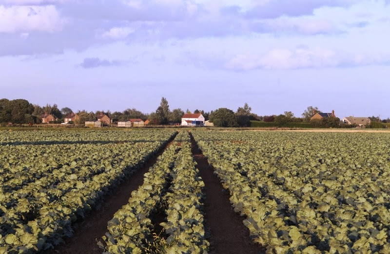 Field of cabbages in very flat landscape