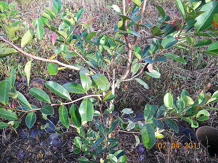 Magkono Seedling Photo Courtesy Of Alexis De Manuel