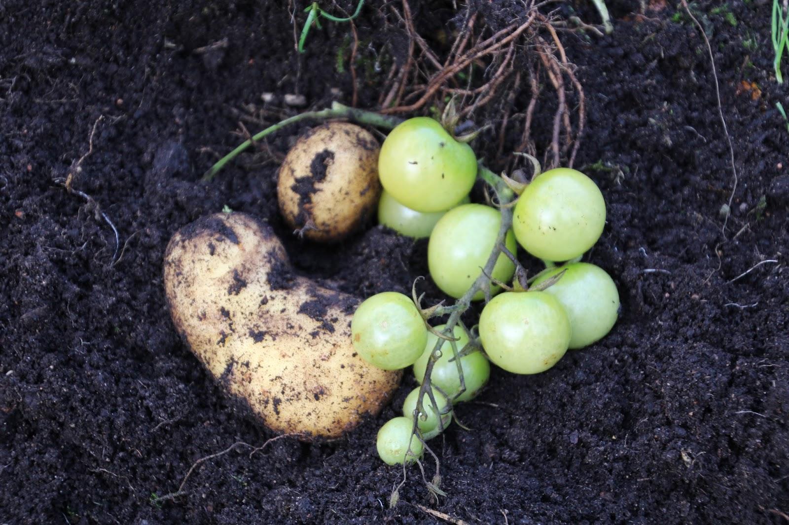 potatom tomat och potatis på samma planta