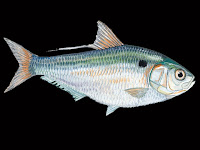 Threadfin Shad Fish Pictures