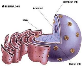 gambar struktur nukleus sel