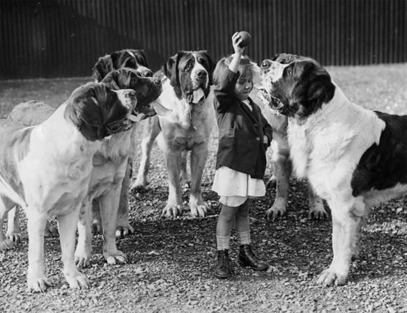 girl-saint-bernards