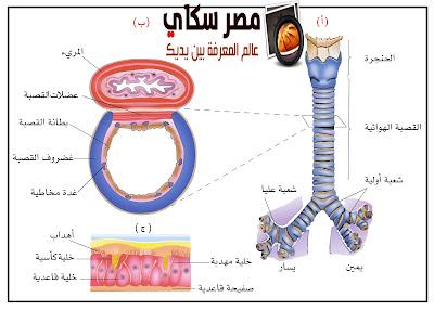 علاقة القصبة الهوائية بالمكونات الأخرى لجهاز التنفس Trachea