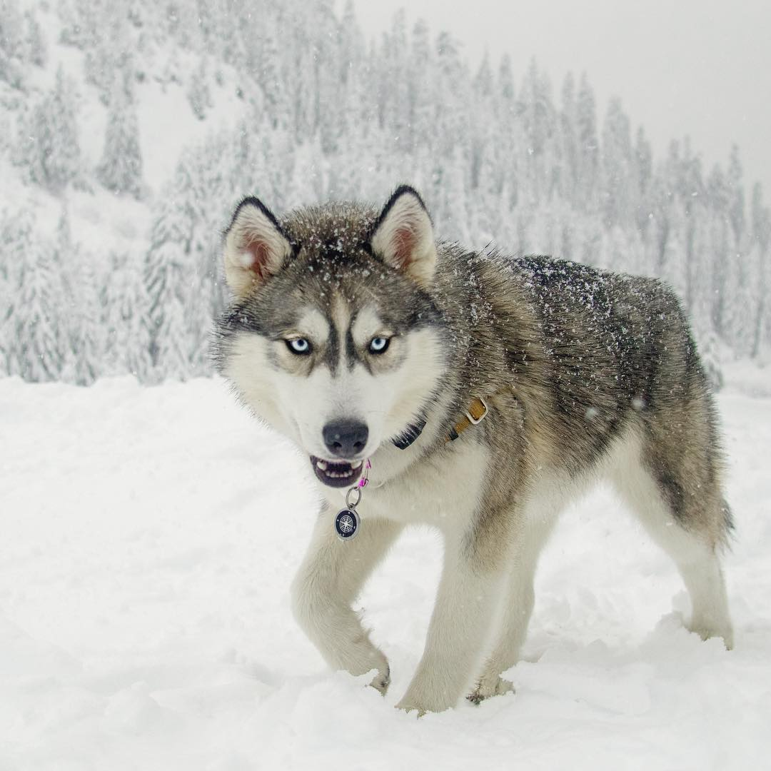 Siberian Husky Ripley With Color Wolf Grey My Interests