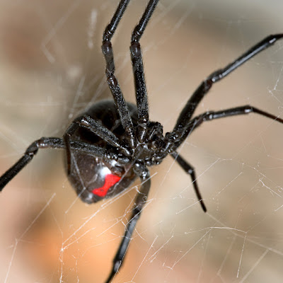 A Black Widow spider - closely related to some Santandereanas