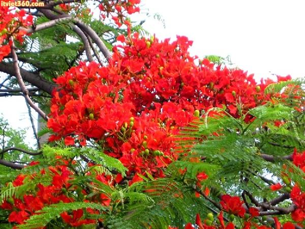 Chùm hình ảnh đẹp về hoa phượng sân trường