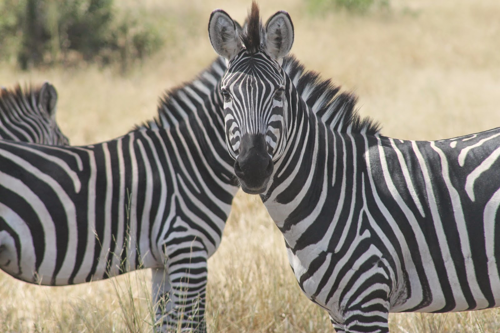 Tanzania Safari Zebra