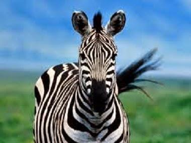 zebra mirando de frente a la cámara