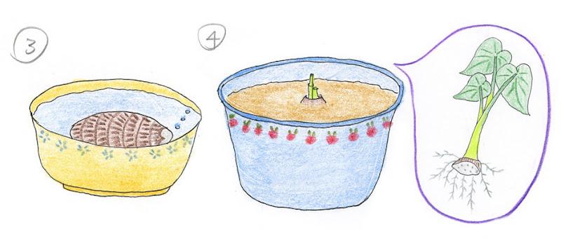 3.泡水 4.定植