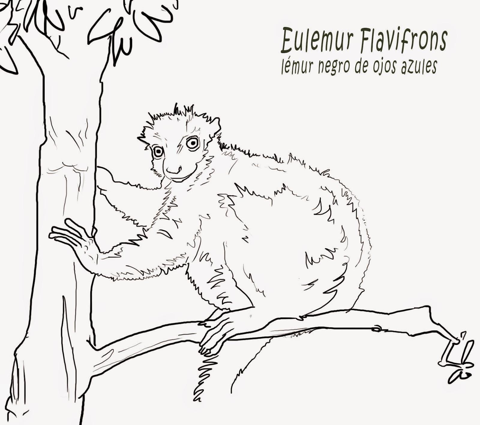 """<img src=""""Eulemur Flavifrons.jpg"""" alt=""""Lémur para colorear""""/>"""