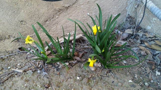 three tiny yellow daffodils
