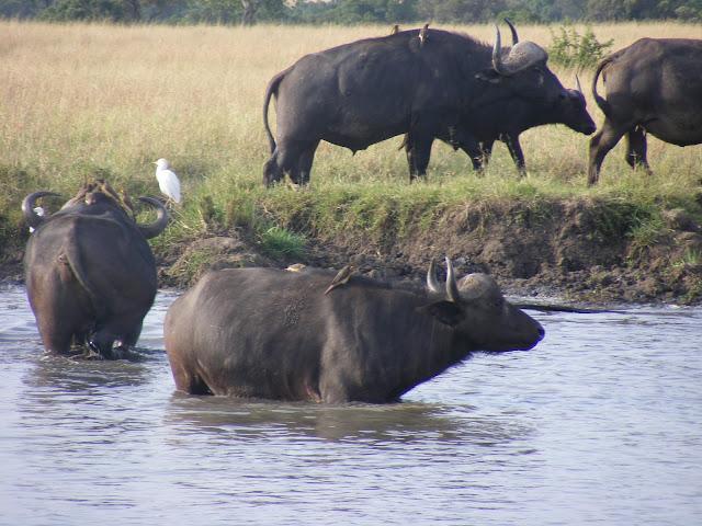 Buffaloes, Masai Mara, Kenya, safari