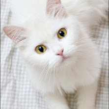 cute, cat, white, meow, beautiful