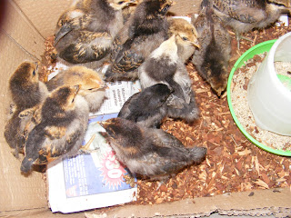 Hungry chicks