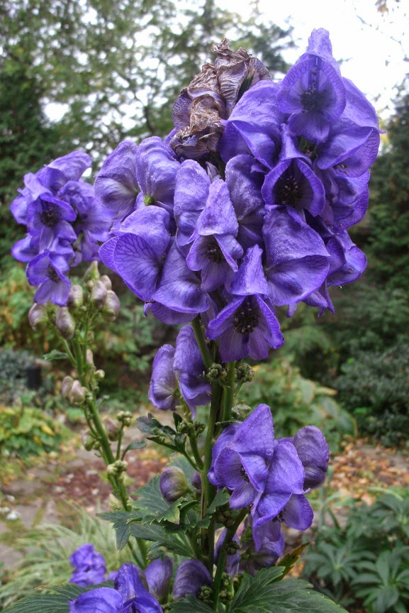 Aconitum carmichaelii arendsii Autumn monkshood by garden muses-not another Toronto gardening blog