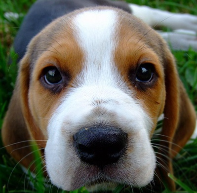 how to play with a beagle puppy