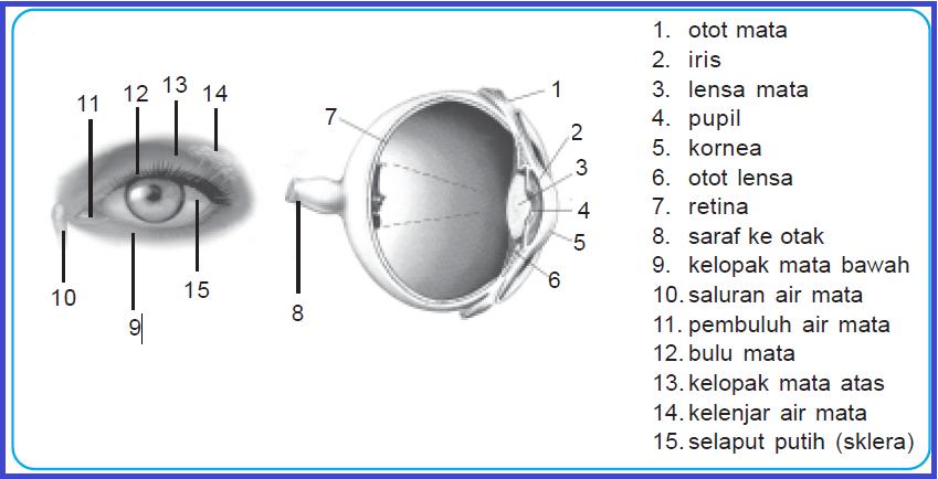 Materi IPA Mata Bagian Dalam Dan Fungsinya