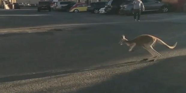 Kangaroo escapes, hops through New York