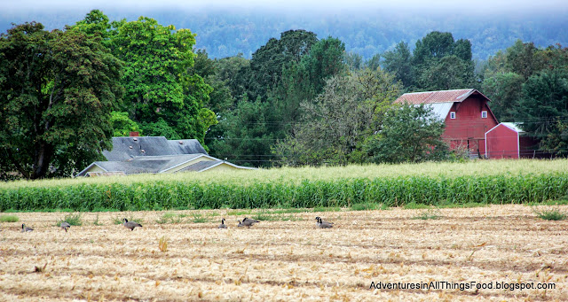 Canadian Geese in cornfield