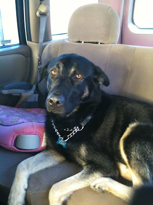 german shepherd mix seamus sitting in back seat of a car