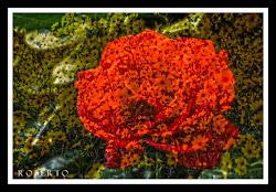 una rosa per la vita. ( foto dall amico Roberto B. )