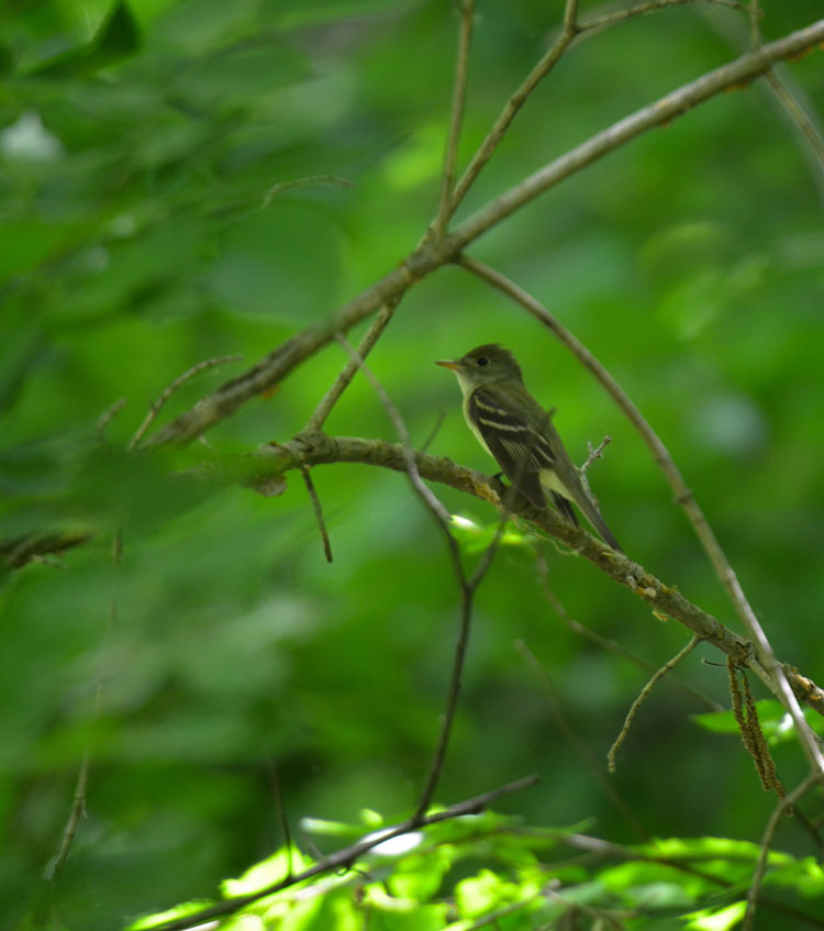 The loud call of the acadian flycatcher announces its present. He usually is harder to spot than he is to see.