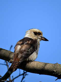 mr kookaburra is not amused - brisbane