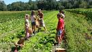 Harvesting Lettuce in the field