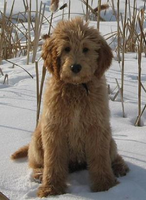 Goldendoodle Animal