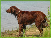Irish Setter Dog Pictures