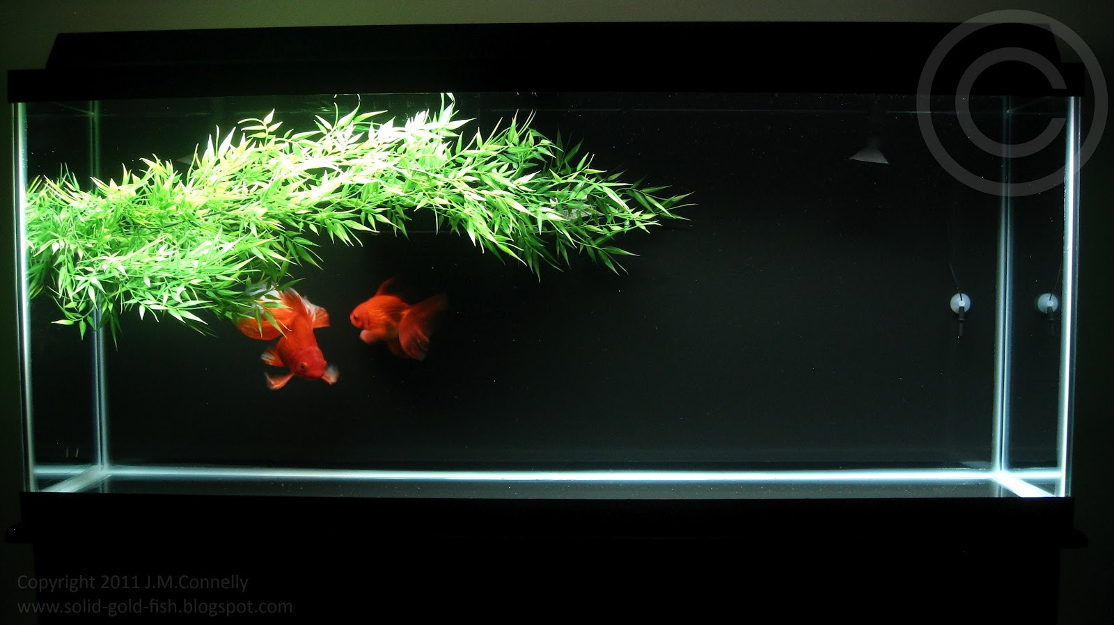 Goldfish zen solid gold aquatics for Zen fish tank