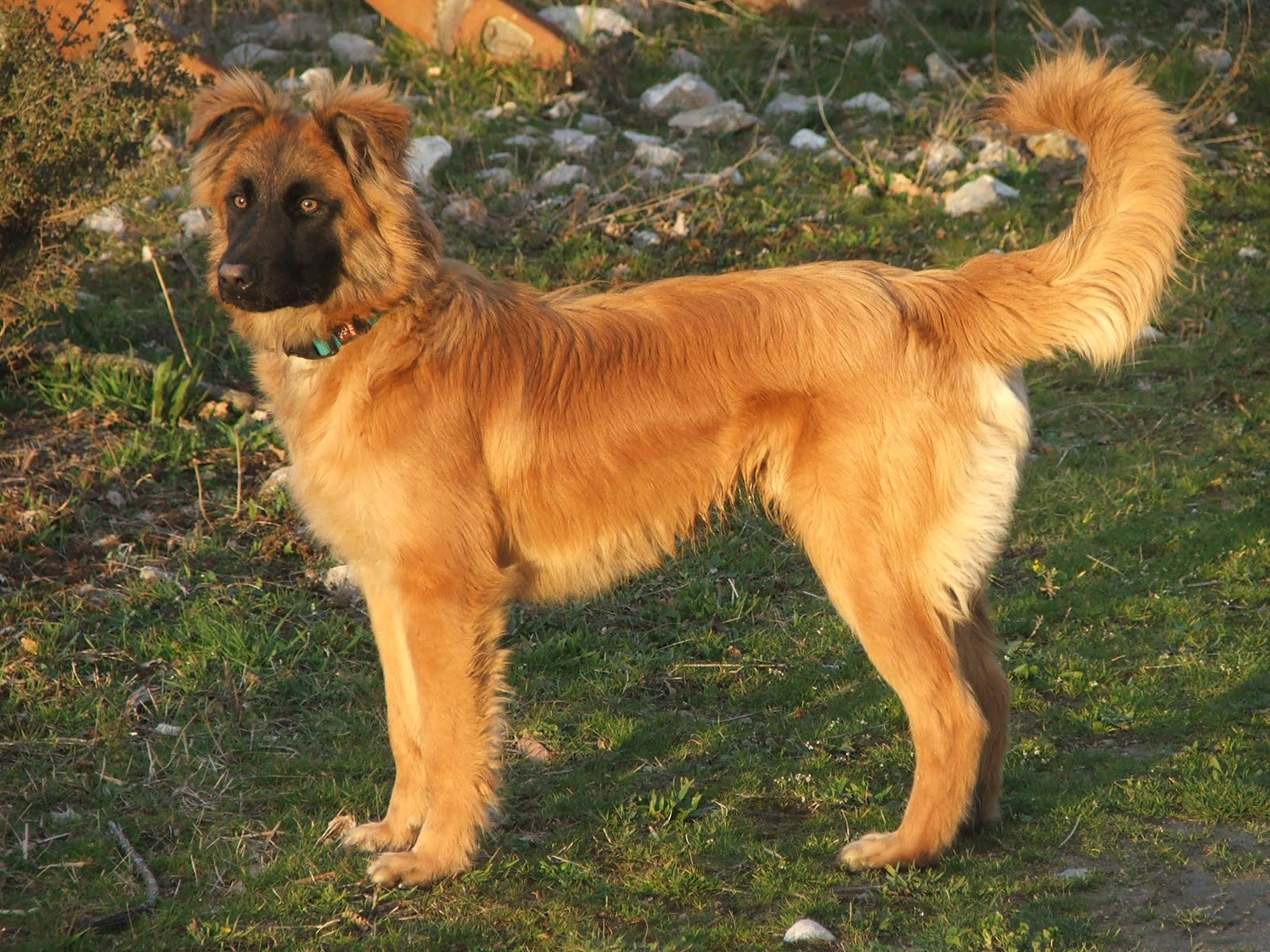 hiru indor basque shepherd dog