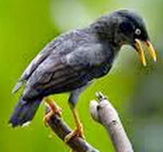 Foto Burung Jalak Kebo Terbaik