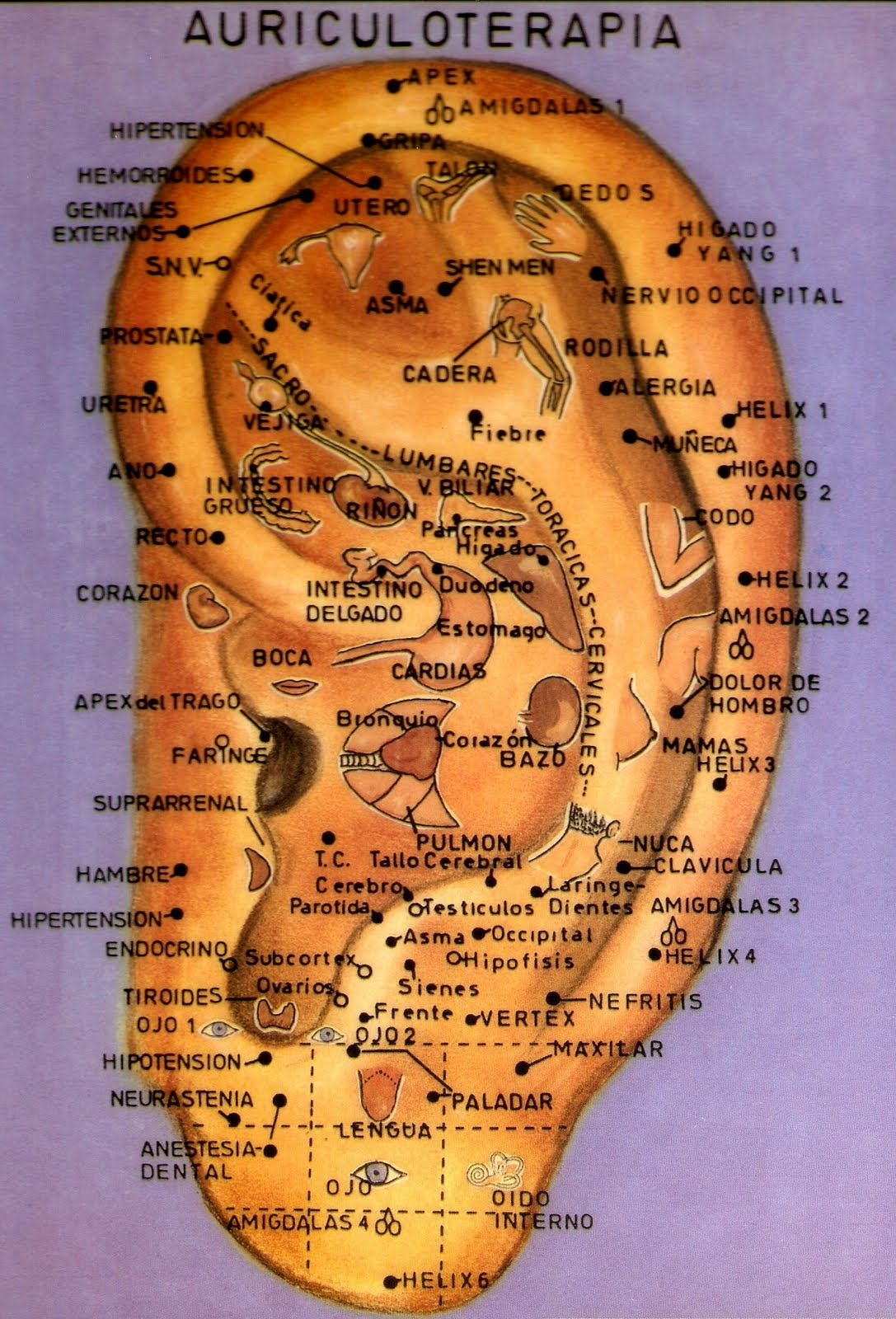 venta lamina anatomia: