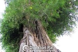 Pohon Mistis Terlangka di Dunia Ditemukan di Pati
