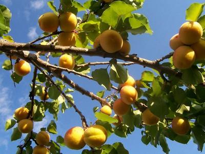 Árvore de damasco