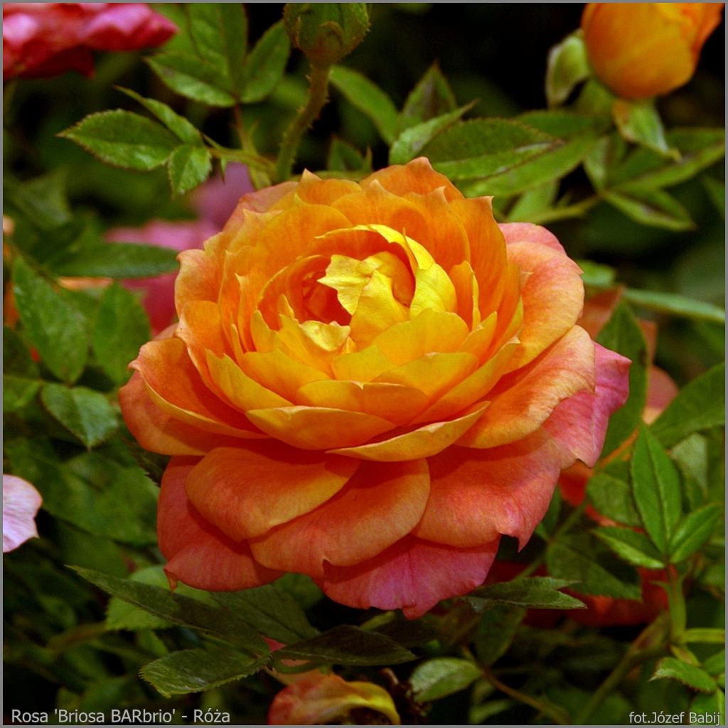 Rosa 'Briosa BARbrio' - Róża